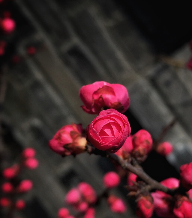 red-pink-rose-flower-no-person picture material