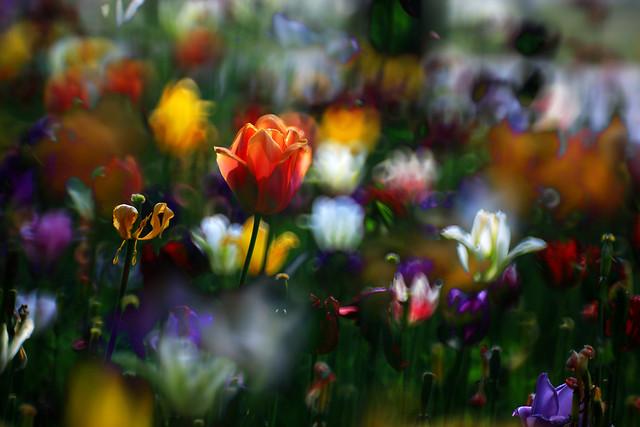 flower-nature-garden-tulip-flora picture material