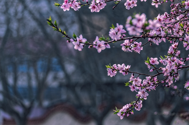 flower-tree-branch-cherry-nature picture material