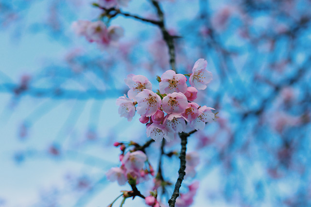 nature-flower-cherry-branch-tree picture material