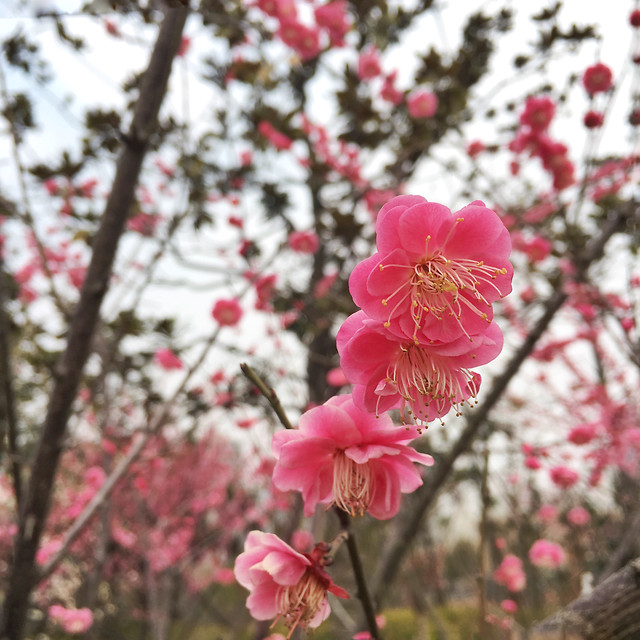branch-cherry-flower-tree-nature picture material