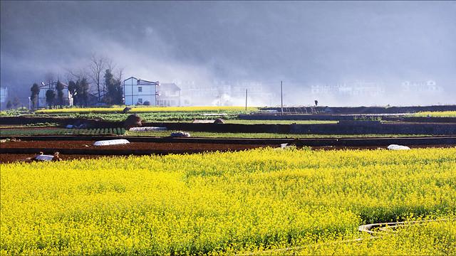 landscape-field-agriculture-farm-canola picture material