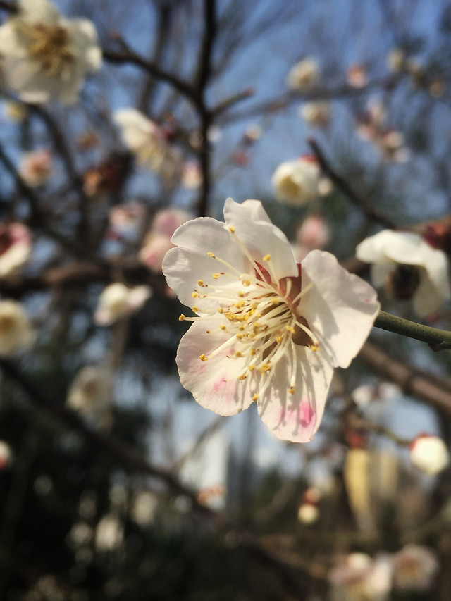 flower-cherry-tree-branch-garden 图片素材