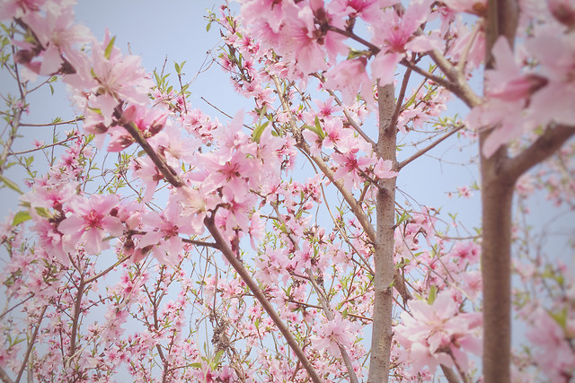 cherry-flower-branch-tree-flora picture material
