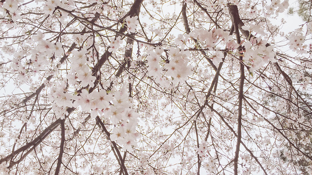 branch-cherry-tree-season-flower picture material