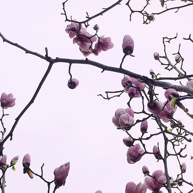 branch-tree-flower-nature-cherry picture material