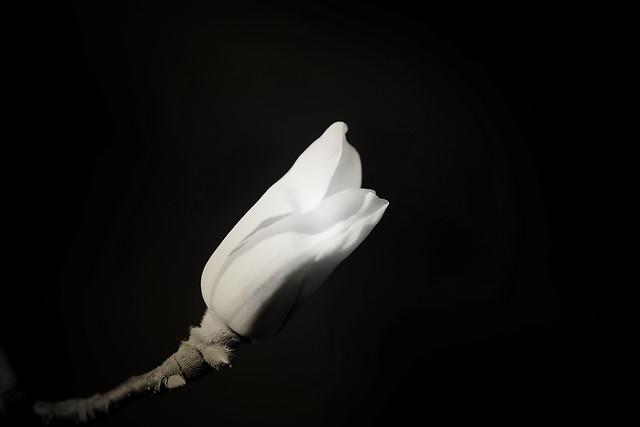 no-person-monochrome-nature-flower-white picture material