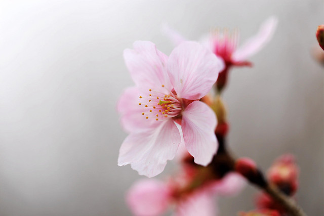 flower-nature-no-person-cherry-leaf picture material