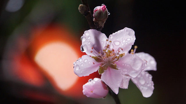 flower-no-person-apple-cherry-nature picture material