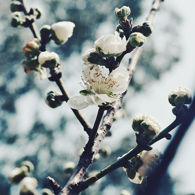 no-person-flower-branch-tree-cherry picture material