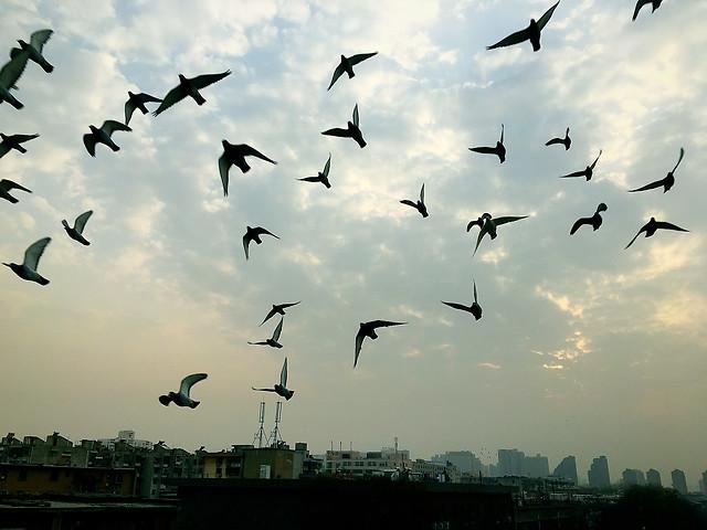 bird-seagulls-flight-goose-wildlife picture material