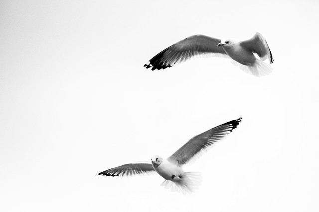 bird-seagulls-no-person-wildlife-flight picture material