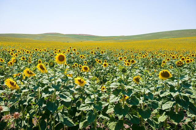 agriculture-no-person-sunflower-flower-field picture material