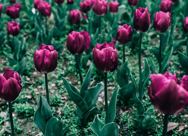 tulip-flower-nature-flora-garden picture material