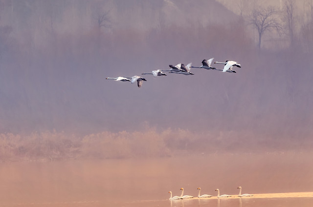 bird-flight-seagulls-sky-goose picture material