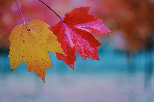 leaf-fall-maple-no-person-nature picture material