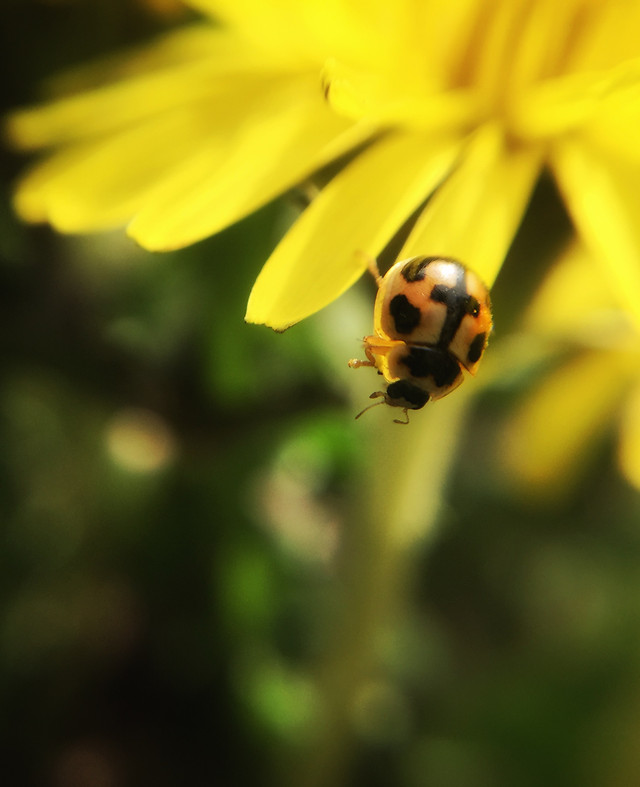insect-ladybug-nature-beetle-no-person picture material