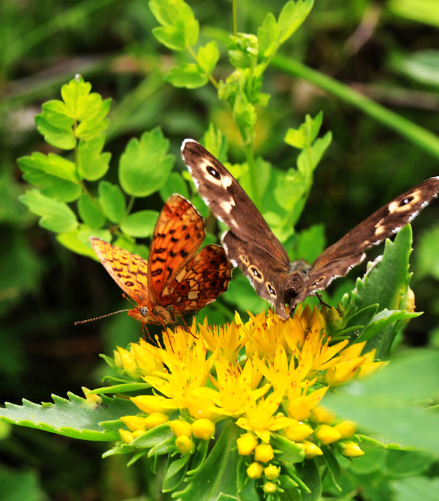 butterfly-insect-nature-wildlife-no-person picture material