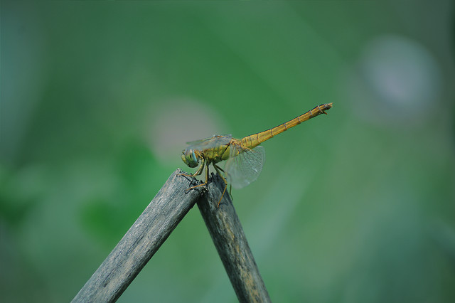 dragonfly-insect-no-person-wildlife-nature picture material