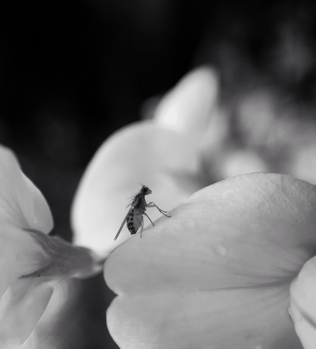 monochrome-nature-insect-flower-little picture material