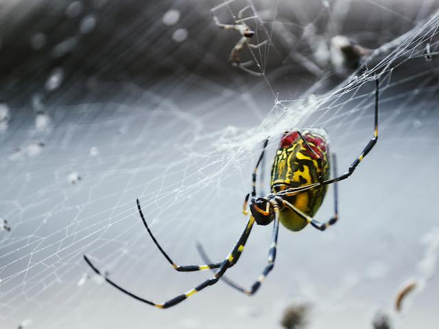spider-spiderweb-arachnid-trap-insect picture material