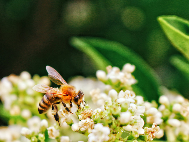bee-nature-insect-flower-honey picture material