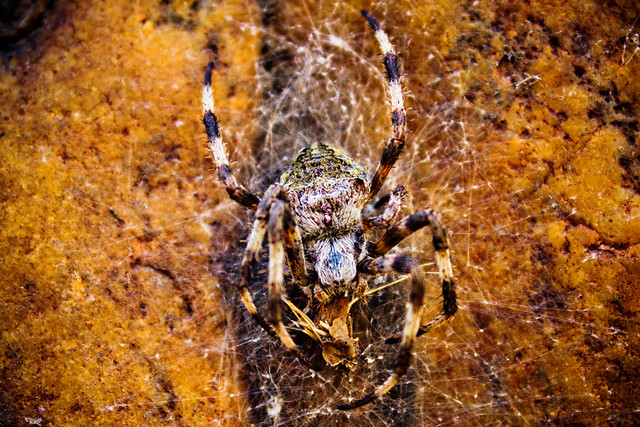 spider-arachnid-insect-invertebrate-nature picture material