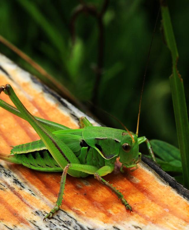 insect-invertebrate-grasshopper-antenna-leaf picture material