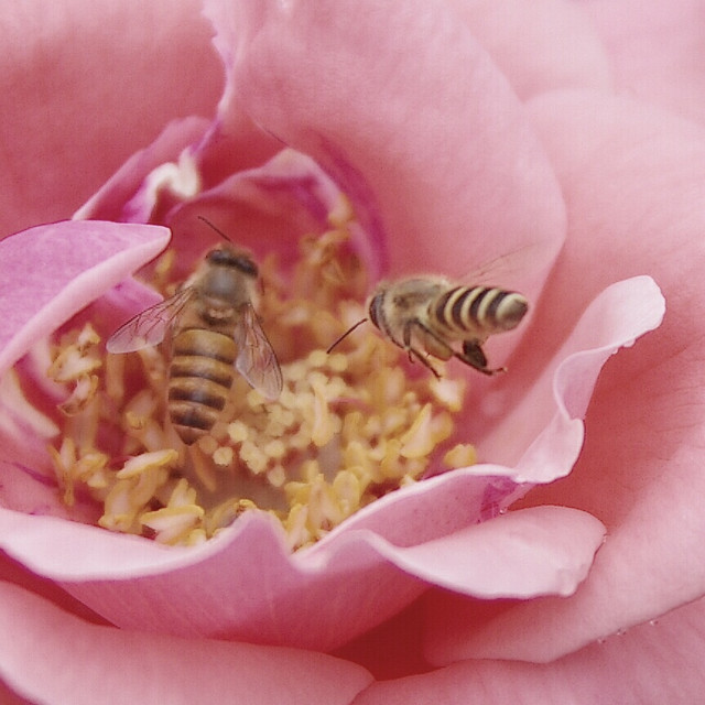 nature-flower-no-person-bee-summer picture material