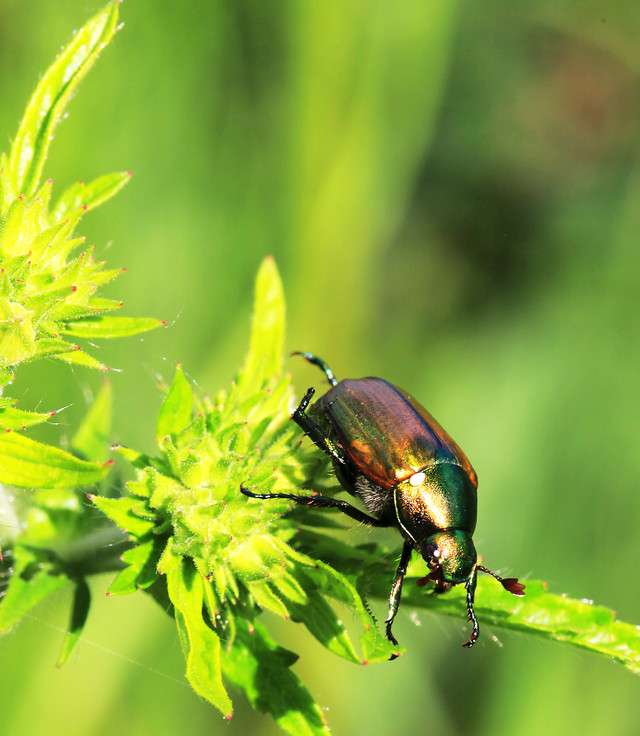 nature-beetle-insect-leaf-no-person picture material