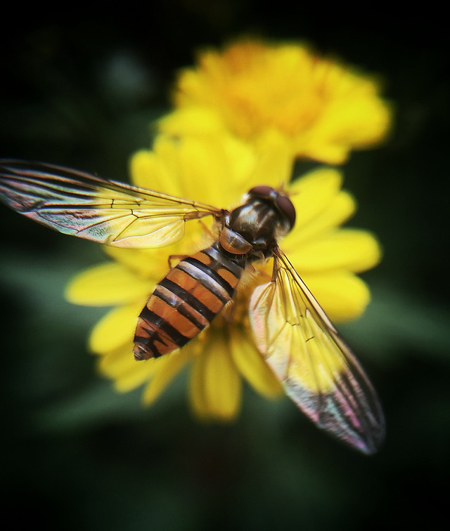 insect-nature-fly-bee-wing picture material