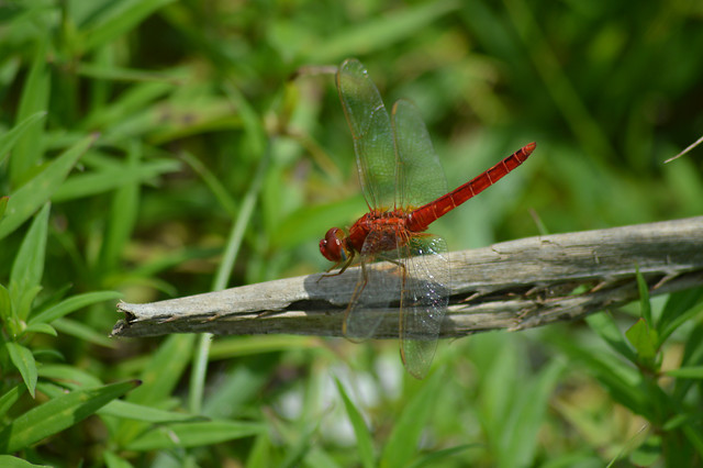 insect-dragonfly-nature-garden-park picture material