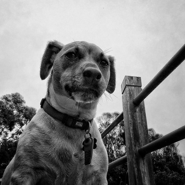 dog-canine-portrait-mammal-pet picture material