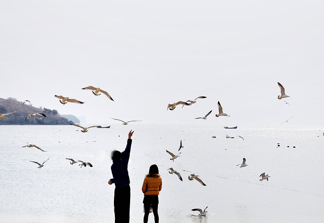 bird-winter-wildlife-snow-seagulls 图片素材