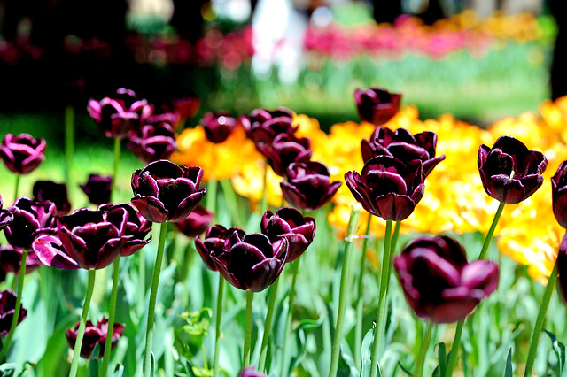 tulip-nature-flower-flora-garden picture material