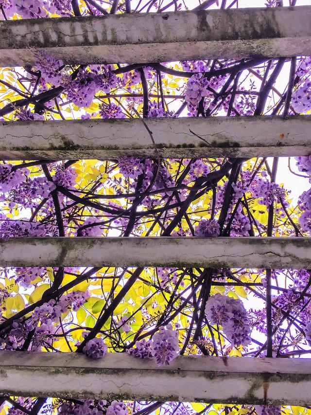flower-desktop-color-flora-purple picture material