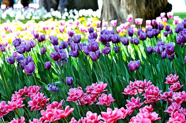 flower-garden-tulip-nature-flora picture material