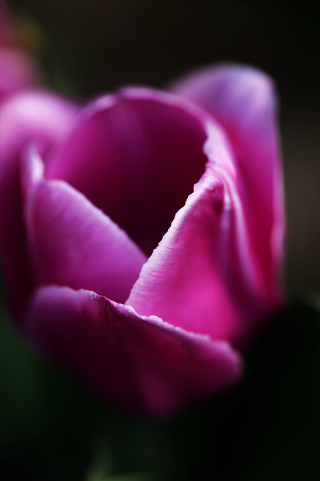 flower-nature-tulip-no-person-flora picture material