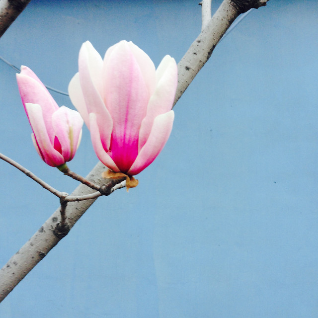flower-nature-blooming-flora-petal picture material