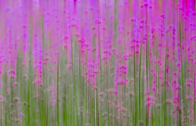 flower-pink-desktop-bright-purple picture material