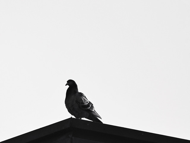 bird-pigeon-monochrome-sky-crow picture material