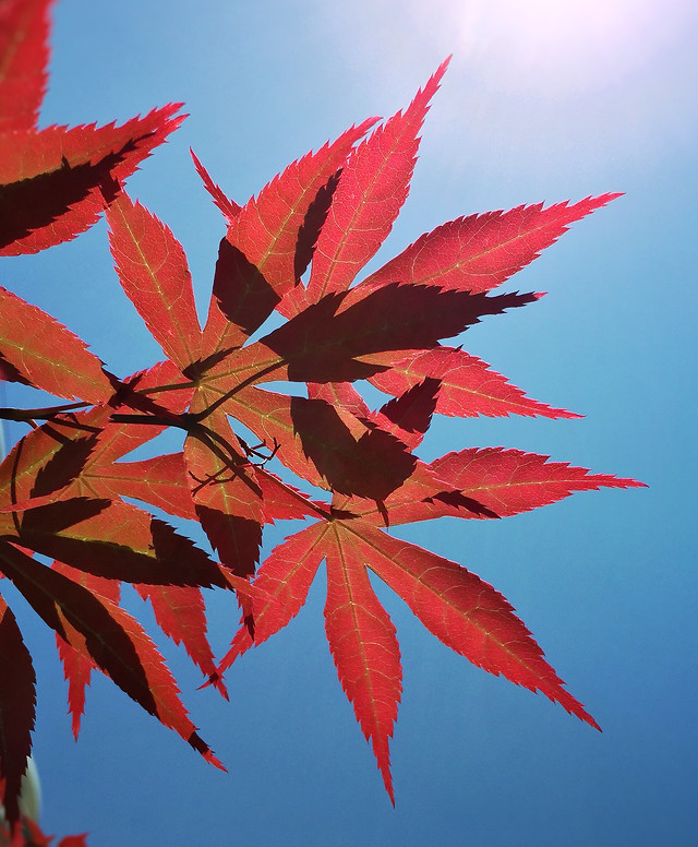 leaf-maple-fall-nature-no-person 图片素材