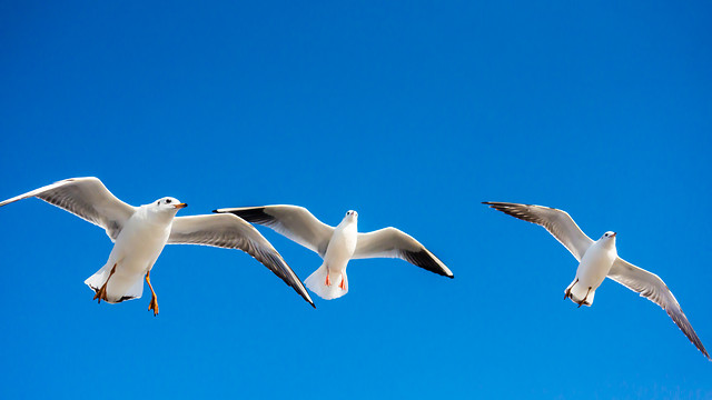 seagulls-bird-freedom-flight-sky picture material