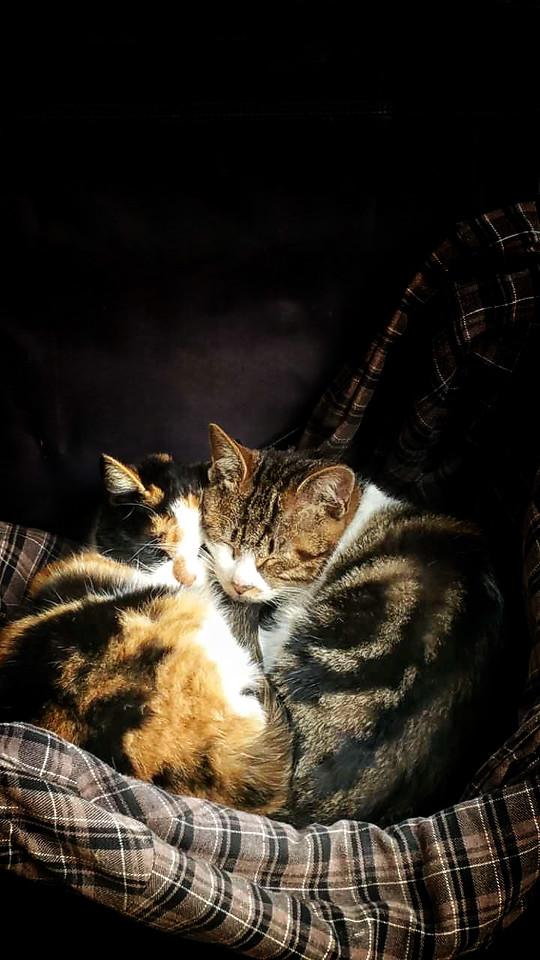 cat-portrait-mammal-pet-kitten picture material