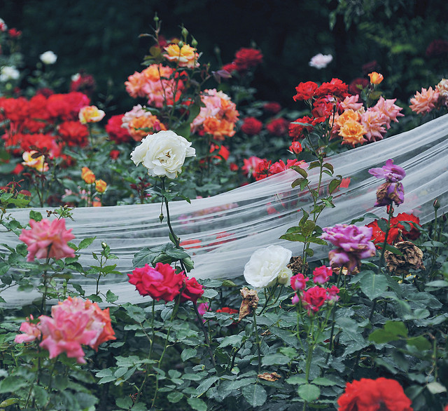 flower-rose-garden-blooming-no-person picture material