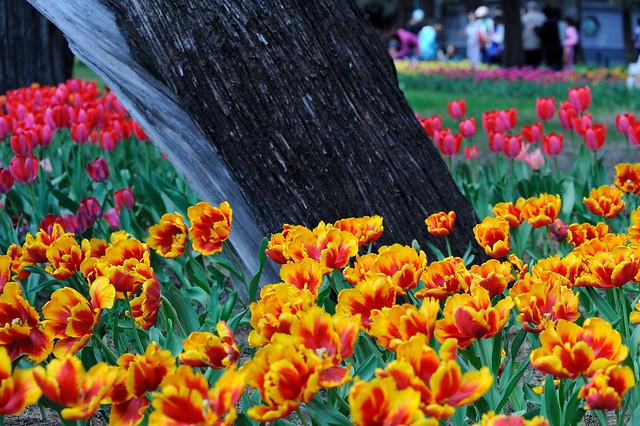 tulip-flower-nature-garden-flora 图片素材