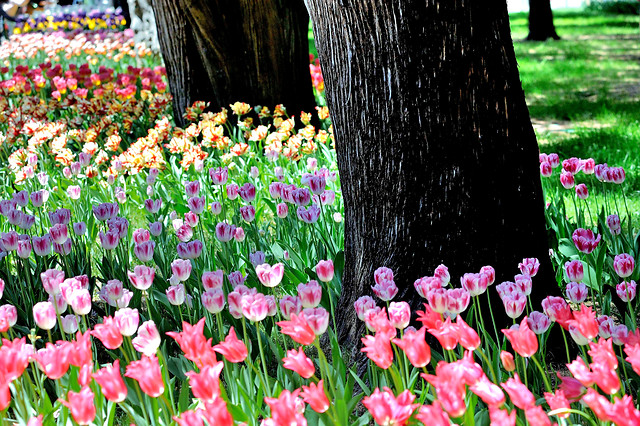 flower-tulip-nature-garden-flora 图片素材
