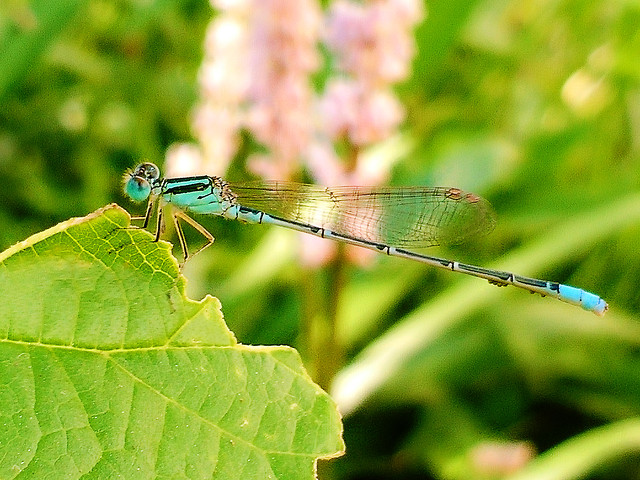 insect-nature-dragonfly-animal-wildlife picture material
