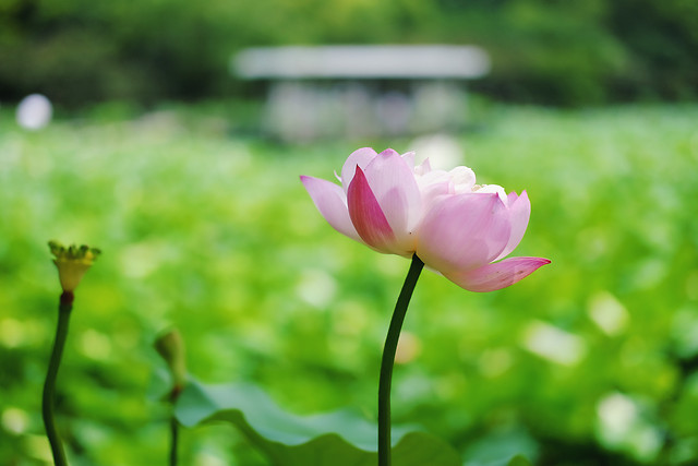 nature-flower-leaf-no-person-lotus 图片素材