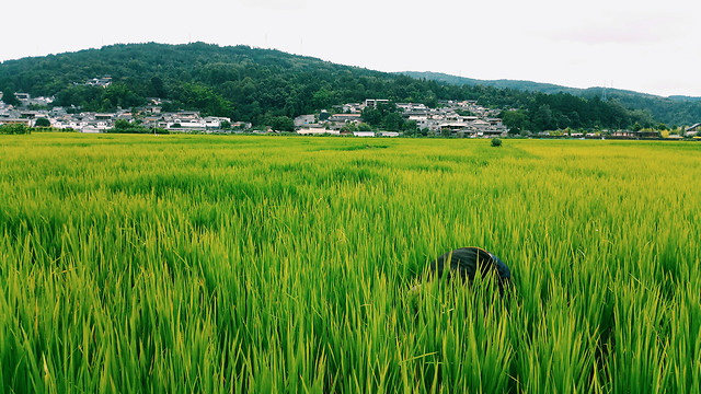 rice-no-person-paddy-cereal-agriculture picture material
